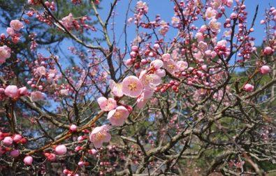 国指定名勝「鶴舞園」の梅が見ごろを迎えます。
